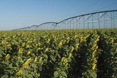 Giacimento irrigato del girasole immagini stock