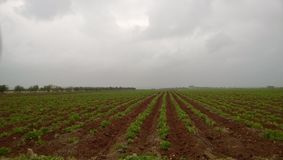 Giacimento irrigato della patata fotografia stock libera da diritti