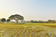 Giacimento leggero del riso di primo mattino dell'agricoltore in Tailandia Fotografie Stock Libere da Diritti