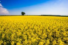 Giacimento luminoso della colza il giorno soleggiato Agricoltura del concetto fotografie stock libere da diritti