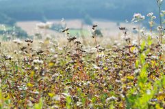 Giacimento maturo del grano saraceno un giorno soleggiato Fotografia Stock Libera da Diritti