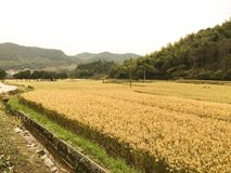 Giacimento maturo del riso Fotografia Stock