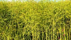 Giacimento maturo del seme di ravizzone per i combustibili biologici Immagini Stock Libere da Diritti