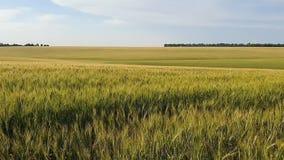 Giacimento maturo della segale e del grano al tramonto, alle orecchie dell'ondeggiamento della segale e del grano nel vento, al c stock footage