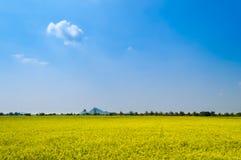 Giacimento maturo luminoso del riso contro cielo blu Fotografia Stock Libera da Diritti