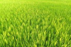 Giacimento naturale del riso Fotografia Stock