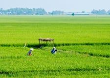 Giacimento nel delta del Mekong, Vietnam del riso Fotografia Stock