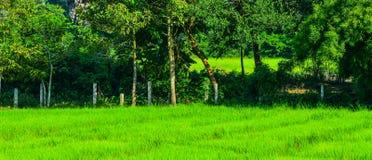 Giacimento nel delta del Mekong, Vietnam del riso Immagini Stock Libere da Diritti