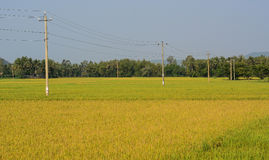 Giacimento nel delta del Mekong, Vietnam del riso Fotografie Stock Libere da Diritti