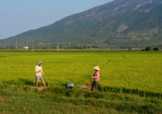 Giacimento nel delta del Mekong, Vietnam del riso Immagine Stock Libera da Diritti