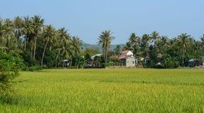 Giacimento nel delta del Mekong, Vietnam del riso Fotografia Stock Libera da Diritti