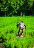 Giacimento nel delta del Mekong, Vietnam del sud del riso Immagini Stock