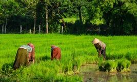 Giacimento nel delta del Mekong, Vietnam del sud del riso Immagine Stock