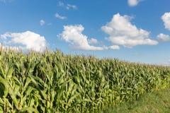 Giacimento olandese del mais con il fondo del cielo blu Immagine Stock