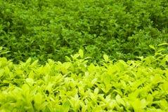 Giacimento organico della foglia di tè Fotografia Stock Libera da Diritti