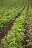 Giacimento organico della patata Immagine Stock