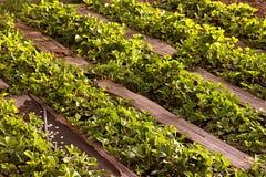 Giacimento organico delle fragole in azienda agricola Russia Cespugli in primavera, percorsi fatti di legno immagini stock libere da diritti