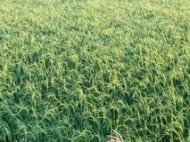 Giacimento piacevole del riso alla sera Fotografia Stock Libera da Diritti