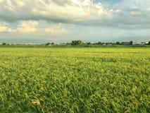 Giacimento piacevole del riso alla sera Fotografie Stock Libere da Diritti