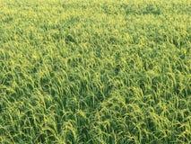 Giacimento piacevole del riso alla sera Fotografie Stock