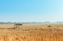 Giacimento raccolto del riso Fotografia Stock