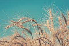 Giacimento, raccolto ed agricoltura dorati di grano Fotografia Stock Libera da Diritti