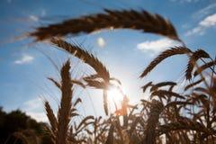 Giacimento, raccolto ed agricoltura dorati di grano Fotografia Stock