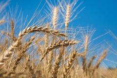 Giacimento, raccolto ed agricoltura dorati di grano Immagine Stock Libera da Diritti