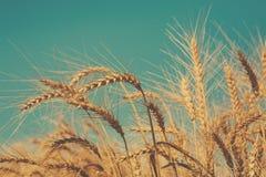 Giacimento, raccolto ed agricoltura dorati di grano Immagini Stock Libere da Diritti