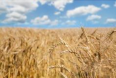Giacimento, raccolto ed agricoltura dorati di grano Fotografie Stock Libere da Diritti