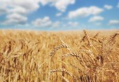 Giacimento, raccolto ed agricoltura dorati di grano Fotografie Stock