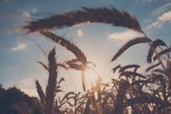Giacimento, raccolto ed agricoltura dorati di grano, lampadina Immagine Stock