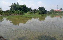 Giacimento recentemente sviluppato del riso con la vista del tempio Immagini Stock Libere da Diritti