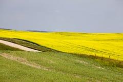 Giacimento Saskatchewan del Canola Immagine Stock