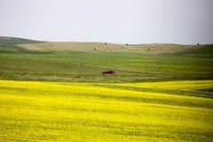 Giacimento Saskatchewan del Canola Fotografia Stock Libera da Diritti