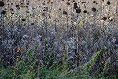 Giacimento secco del girasole in autunno immagine stock