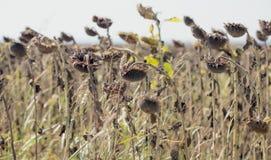 Giacimento secco del girasole con il sole nei precedenti Fotografie Stock Libere da Diritti