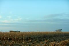 Giacimento secco del mais che è raccolto al crepuscolo Immagini Stock