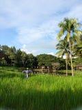 Giacimento tailandese del riso con lo spaventapasseri nel MAI di Chaing, Immagini Stock Libere da Diritti