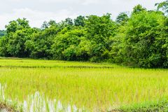 Giacimento tailandese del riso dell'azienda agricola backgroun in Tailandia, paesaggio del giacimento del riso Immagini Stock