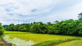 Giacimento tailandese del riso dell'azienda agricola backgroun in Tailandia, paesaggio del giacimento del riso Fotografia Stock Libera da Diritti