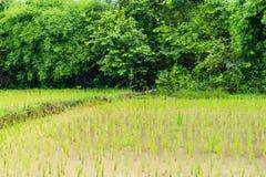 Giacimento tailandese del riso dell'azienda agricola backgroun in Tailandia, paesaggio del giacimento del riso Fotografie Stock Libere da Diritti