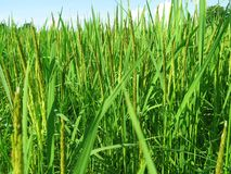 Giacimento tailandese del riso di agricoltura Agricoltura tailandese Immagine Stock Libera da Diritti