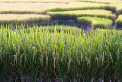 Giacimento a terrazze del riso Immagini Stock Libere da Diritti
