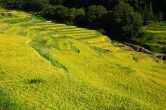 Giacimento a terrazze del riso fotografia stock libera da diritti