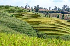 Giacimento a terrazze del riso con il fondo della montagna a PA Bong Piang, Chiang Mai di divieto in Tailandia Fotografia Stock