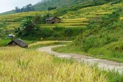 Giacimento a terrazze del riso con il paesaggio curvo della strada nella raccolta della stagione in Y Ty, distretto di Xat del pi Immagini Stock Libere da Diritti