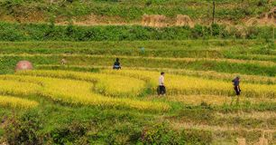 Giacimento a terrazze del riso nel Vietnam del Nord Immagine Stock Libera da Diritti