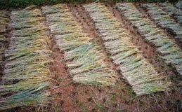 Giacimento a terrazze del riso nel Vietnam del Nord Immagine Stock
