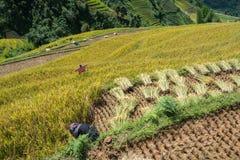 Giacimento a terrazze del riso nella stagione del raccolto con gli agricoltori che lavorano al campo in MU Cang Chai, Vietnam Fotografie Stock Libere da Diritti